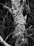 The Tattooed Treeby pinback