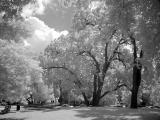 IR Trees in the Park by Erichocinc