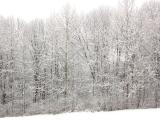 Snow TreesK Miller