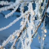 Frost on a Russian Olive Branch by canadian_ann