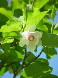 Magnolia by Cara Davis