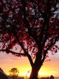 Red Tree in the Sunsetby Ann Chaikin
