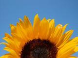 Sunflowerelamont
