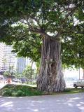 Banyon Tree Hawaii by Beau Jest