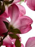 Pink dogwood, on a cloudy day