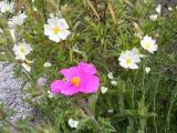 Wild Flowers - Cistus sp.