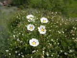 Esteva // Gum Rockrose (Cistus ladanifer subsp. ladanifer)