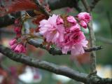 Kirsebaertre i blomst 30 april 2005