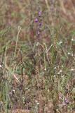 Bristly Jewelflower (Streptanthus glandulosus)