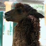 Young Llama - LA Zoo - CP 5000