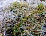 herbe verte et glacée