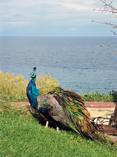 Peacock at Sveti Naum