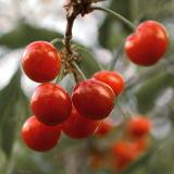 Pie Cherries II