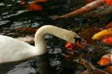 swan and carps