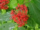 Sambucus pubens (Red Elderberry)