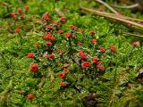 Cladonia cristatella (British Soldiers) ~ 1/4'' high