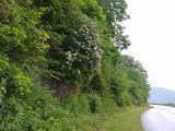 R. arborescens MP 409.3 N, 4925'