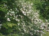 R. arborescens MP 410.4 N