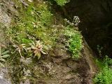 Saxifraga michauxii, Hypericum buckleyi MP 421.8 N