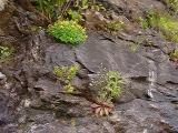 Hypericum buckleyi, Saxifraga michauxii MP 420.5 N