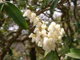 Pieris floribunda