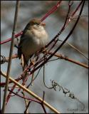 Field Sparrow 4122.jpg