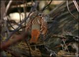 Fox Sparrow 4245.jpg