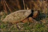 Snapping Turtle 4256.jpg