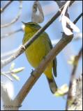 Palm Warbler yellow race 4358.jpg