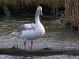 One of the cygnets from this spring