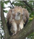 Griffon Vulture - preparing for flight