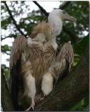 Griffon Vulture - looking for lunch