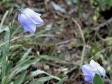 Pair of Blue Bells