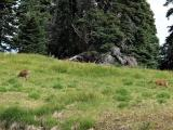 Two Black Tail Deer