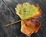 Dead Grape Leaf.jpg
