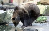 Ursus ArctosGrizzly/Brown BearBruine Beer