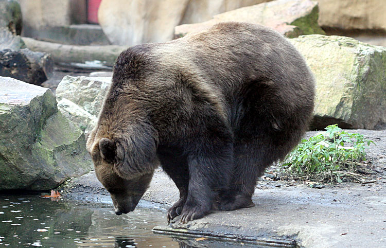 Ursus Arctos<br>Grizzly/Brown Bear<br>Bruine Beer