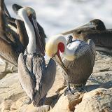 Brown Pelicans: adult alternate (front), juvenile (rear)