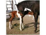 Foals of the Tb Mare Injun Joe