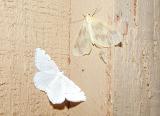 top - The Beggar (Eubaphe mendica) bottom - Lesser Maple Spanworm (Itame pustularia)
