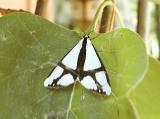 'The Neighbor' Moth (Haploa contigua)