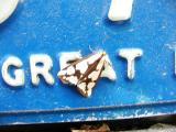 Reversed Haploa moth (Haploa reversa)
