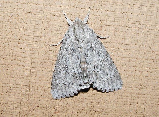 American Dagger Moth (Acronicta americana)