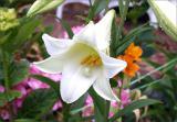 Slightly open lily