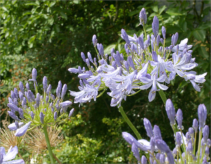 Agapanthus after the rain
