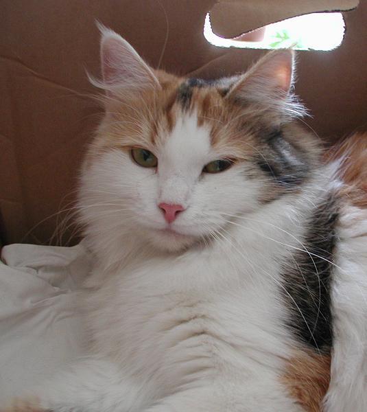 Torbie/white Siberian Cat female
