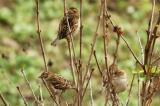 Sparrow7.jpg