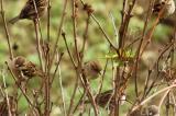 Sparrow8.jpg