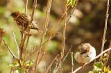 Sparrow9.jpg