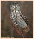 Portraits de Strigidés (Portraits of Owls)